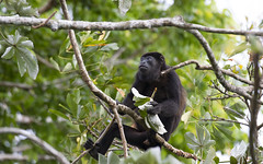 Panama (richard.mcmanus.) Tags: panama soberanianationalpark rainforest monkey primate howlermonkey mantledhowlermonkey mcmanus animal wildlife