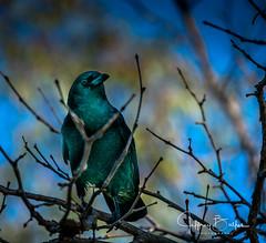 Blackbird (Jeffrey Balfus (thx for 3.3 Million views)) Tags: sonyalpha sonya9mirrorless sonyilce9 fullframe emountsony100400mmg sal100400f35g