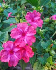 Mirabilis jalapa. (Ramona Anitsuga) Tags: mirabilisjalapa flores fleurs flowers pinkflowers pink botanic botanica blossom bloom spring primavera