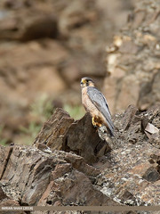Barbary Falcon (Falco pelegrinoides) (gilgit2) Tags: avifauna barbaryfalconfalcopelegrinoides birds canon canoneos7dmarkii category fauna feathers geotagged gilgitbaltistan imranshah location nagar pakistan sikandarabad species tags tamron tamronsp150600mmf563divcusd wildlife wings gilgit2 falcopelegrinoides