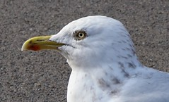 seagull (robertwaynelester) Tags: seagull gull bird closeup