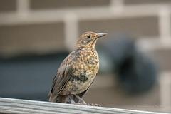 Blackbird Juvenile... (Beckett_1066) Tags: birds hawkesbury redbank blackbird