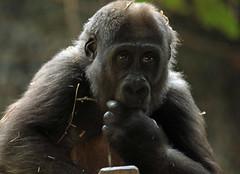 western lowlandgorilla Yanga Artis 094A0533 (j.a.kok) Tags: gorilla westelijkelaaglandgorilla welp lowlandgorilla laaglandgorilla animal artis africa afrika aap ape zoogdier dier primate primaat mammal monkey mensaap yanga