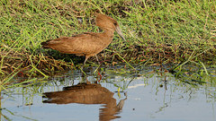 Hamerkop (0076) (Bob Walker (NM)) Tags: bird hamerkop wateredge scopusumbretta wading khwaitentedcamp moremigamereserve botswana