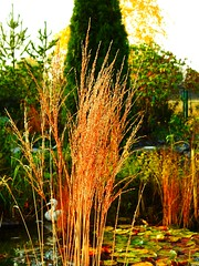 herbstliche Rutenhirse (Sophia-Fatima) Tags: mygarden meingarten naturgarten gardening