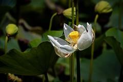 White Lotos (grzegorzmielczarek) Tags: pamplemoussesbotanicalgarden maurice lotos lotus mauritius nelumbo mascareneislands pamplemousses mu