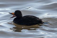 Black Scoter (Melanitta americana) (mesquakie8) Tags: bird duck feeding mouthopen adultmales blackscoter melanittaamericana blsc peorialake peoriacounty illinois n0102