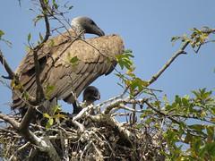 White-backed Vulture (with chick)/ Witrugaasvoël (met kuiken) (Pixi2011) Tags: birds birdsofprey vulture krugernationalpark southafrica africa nature