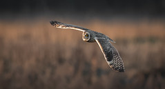 Short-eared Owl (Steve D'Cruze) Tags: asio flammeus short eared owl sefton merseyside lunt meadows nikon d500 sigma 150600 c