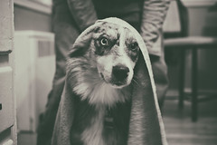 Towel Off (flashfix) Tags: november052018 2018inphotos flashfix flashfixphotography ottawa ontario canada nikond7100 40mm portrait sock dog canine animal pet austrailanshepherd triaustrailanshepherd bluemerle tricolour heterochromia towel monochrome blackandwhite