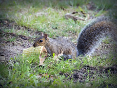 Brian_Squirrel-Lend Me An Ear 1 LG_092018_2D (starg82343) Tags: 2d brianwallace outside outdoors pasadenamd maryland squirrel corn corncob earofcorn eating funny amusing graysquirrel grass ftsmallwoodpk