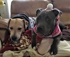 Reilly and Emmy (atjoe1972) Tags: pitbull puppy labradorretriever mix rescue