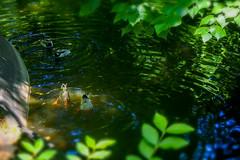 (Liane FKL) Tags: colors couleurs nature green vert eau water lac barrière canards ducks plonge diving foliage feuillage
