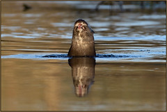 Otter (image 1 of 2) (Full Moon Images) Tags: wildlife nature animal mammal river sunrise dawn wild otter