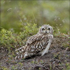 Brandugla - Short-eared Owl - Asio flammeus (alexmani97) Tags: owls outdoor ngc birdphotography birdingiceland birdsoficeland birds iceland wildlife nature asioflammeus brandugla shortearedowl