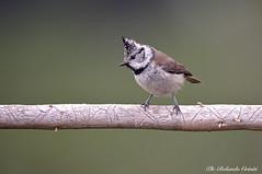 Cincia dal ciuffo _004 (Rolando CRINITI) Tags: cinciadalciuffo uccelli uccello birds ornitologia avifauna montebaldo natura