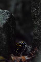 Salamandra (Hachimaki123) Tags: animal salamandra salamander salamandrasalamandra amphibian anfibio