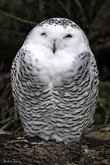 Snowy Owl - Toronto Zoo (dks_34) Tags: snowyowl owl toronto torontozoo nikon nikond500 heatherzakary