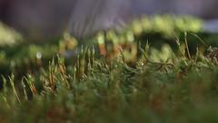 moss world (robra shotography []O]) Tags: macromonday green macromondays