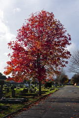 Red Tree, London Road Cemetery, Mitcham (London Less Travelled) Tags: uk unitedkingdom britain england london southlondon mitcham merton cemetery londonroad grave graves tree red colour autumn fall leaves