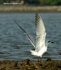 IMG_7736 Gull-billed Tern (Gelochelidon nilotica)  & Caspian Tern (Hydroprogne caspia) (vlupadya) Tags: greatnature animal bird aves fauna indianbirds gullbilled tern gelochelidon kundapura karnataka