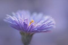 blue light (christophe.laigle) Tags: bleu christophelaigle fleur macro nature flower fuji blue lumière xpro2 xf60mm light coth coth5