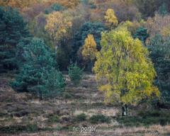 Heath trees (www.neilporterphotography.com) Tags: heath bovey tree trees autumn nature artisitc painterly