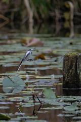 DSCF6361 (jojotaikoyaro) Tags: bird animal nature wildlife suginami tokyo japan fujifilm xh1 xf100400mm