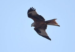DSC_2278 Red Kite (PeaTJay) Tags: nikond750 tamron reading lowerearley berkshire outdoors nature birds birdsofprey redkite