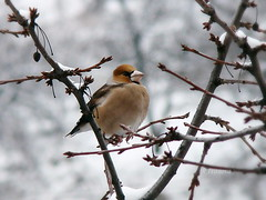 Coccothraustes coccothraustes (R_Ivanova) Tags: nature bird coccothraustescoccothraustes winter tree branch bright snow color colors cold sony rivanova риванова природа птици черешарка зима дърво клони сняг животни fav20