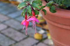 DSC_2295 Fuchsia Still hanging on (PeaTJay) Tags: nikond750 sigma reading lowerearley berkshire macro micro closeups gardens outdoors nature flora fauna plants flowers fuchsia