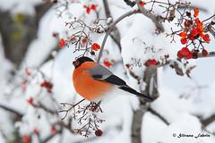 Ciuffolotto (silvano fabris) Tags: canon wildlife photonature nature uccelli birds animali animals