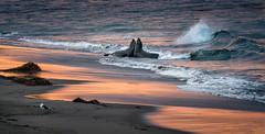Who will win? (alicecahill) Tags: sonya7r3 california usa beach ©alicecahill sanluisobispocounty mammal centralcoast slocounty pacificocean elephantseal ca animal