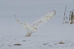 Take off (Peter Stahl Photography) Tags: snowowl owl winter snow voles alberta wildlife