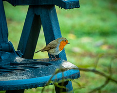 Robin on the lookout (Marc Rauw.) Tags: hoenderloo robin bird nature red roodborstje garden forest autumn feathers olympusomdem5markii olympus omd em5 mzuiko40150mmpro mc14 mzuiko 40150mm wet damp fauna microfourthirds m43 μ43 watching watchout green lookout