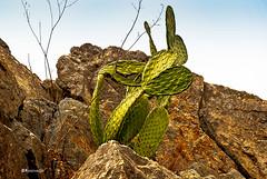 Figuera de moro - Cap de Creus (rossendgricasas) Tags: figuera natura capdecreus textures rocks mountain photo colorimage colors nikon catalonia
