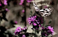 Dilluns amb flors i un bitxo / Monday with flowers and a bug (PURIFM) Tags: butterfly nature nikin nikon ngc bokeh macro
