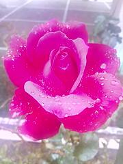 Ancora una rosa (Cercatore) Tags: picoftheday hdrphotography flowerstagram macrophotography macro huaweiy5 hdr nature rose fleurs huawei fiori photooftheday natura flowersinstagram flowers cercatore hdrphoto