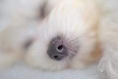 Baby Daisy... (KissThePixel) Tags: dog dogs dogwalk dogportrait portrait daisy beautiful love family k9 pet petphotography macro white maltese nikon nikond750 50mm 14