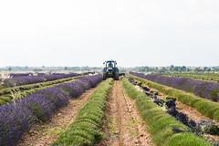 DSC_9690-22 (aehnattapol) Tags: france lavender building shop landscape uk england europe eifel farm blue sky green