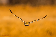 Short-eared Owl (Glenn R Parker) Tags: goldenhour owls shortearedowl