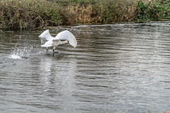FIGHTING SWANS [ ROYAL CANAL BETWEEN BROOMBRIDGE AND ASHTOWN]-148342 (infomatique) Tags: birds swans fight wildlife nature water canal royalcanal canalwalk sony a7riii batis zeiss 135mmlens williammurphy infomatique fotonique ireland