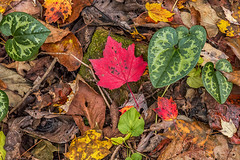 On the Forest Floor (Back Road Photography (Kevin W. Jerrell)) Tags: leaves autumncolors autumnbeauty nature backroadphotography nikond7200 fall fallcolor