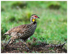 Yellow-necked Spurfowl (nickyt739) Tags: yellow necked spurfowl ground bird avian kenya east africa safari masai mara red nikon dslr d5100 wild wildlife animal planet adventure travel flickrsbest colour colourful amateur photographer grass