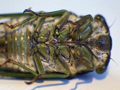 Cicada (milfodd) Tags: july 2018 macro cicada insect