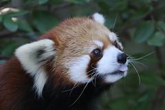Idgie - Red Panda (smileybears) Tags: zooatlanta redpanda firefox idgie