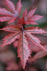 Falltime leaves (billcoo) Tags: xf80mm xt2 macro fall colors bokeh leaf plant tree fujinon fujifilm autumn