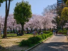 Hanami  at Kema Sakuranomiya Park - Osaka (Noti NaBox) Tags: hanami sakura cherryblossom cherry blossom osaka cerisier fleur parc park sakuranomiya lumix japon japan