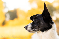 Penny (MelissaW Dog Photography) Tags: peny corgi mix ruffwear webmaster harness autunm sun brown yellow black white dog pet twiske green nikon d5200 nikkor 50 18 grass animal tree forest