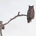 Great Horned Owl - Bubo virginiensis, Lake Placid, Florida